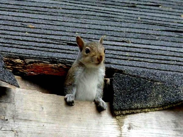 squirrel in rotted roof